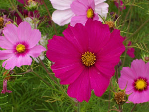 Plant study cosmos fire the next most predominant element of cosmos seems to be fire this is due to its willing exposure to the heat and light of the sun mightylinksfo