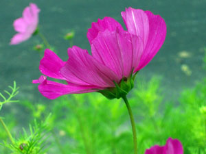 Plant study cosmos i could not find any scientific chemical analysis of cosmos it seems extremely benign being both highly attractive to insects and not causing any kind of mightylinksfo Image collections
