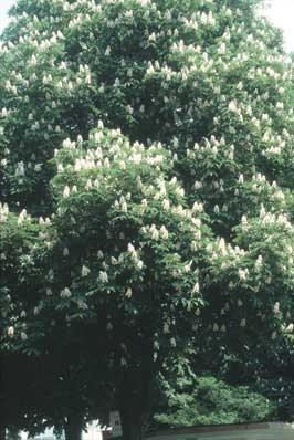Perspectives from julian barnard on the flower essences of dr bach with sweet chestnut in herefordshire england white chestnut mightylinksfo