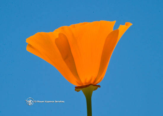 California poppy true gold is in the heart at the end of their flowering cycle the petals fall away and reveal an elongated seed pod in contrast to the more globular seedpod of the opium poppy mightylinksfo