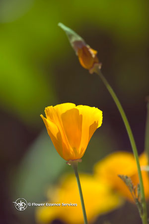 California poppy true gold is in the heart the early spanish settlers of california saw vast displays of the california poppy lighting up the coastal hillsides and it is said they could guide their mightylinksfo