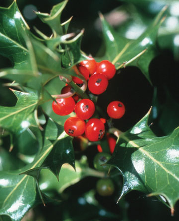 [Image: holly-berry.jpg]