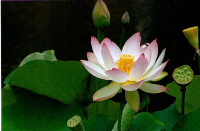 Lotus plant study photo from pdphoto mightylinksfo